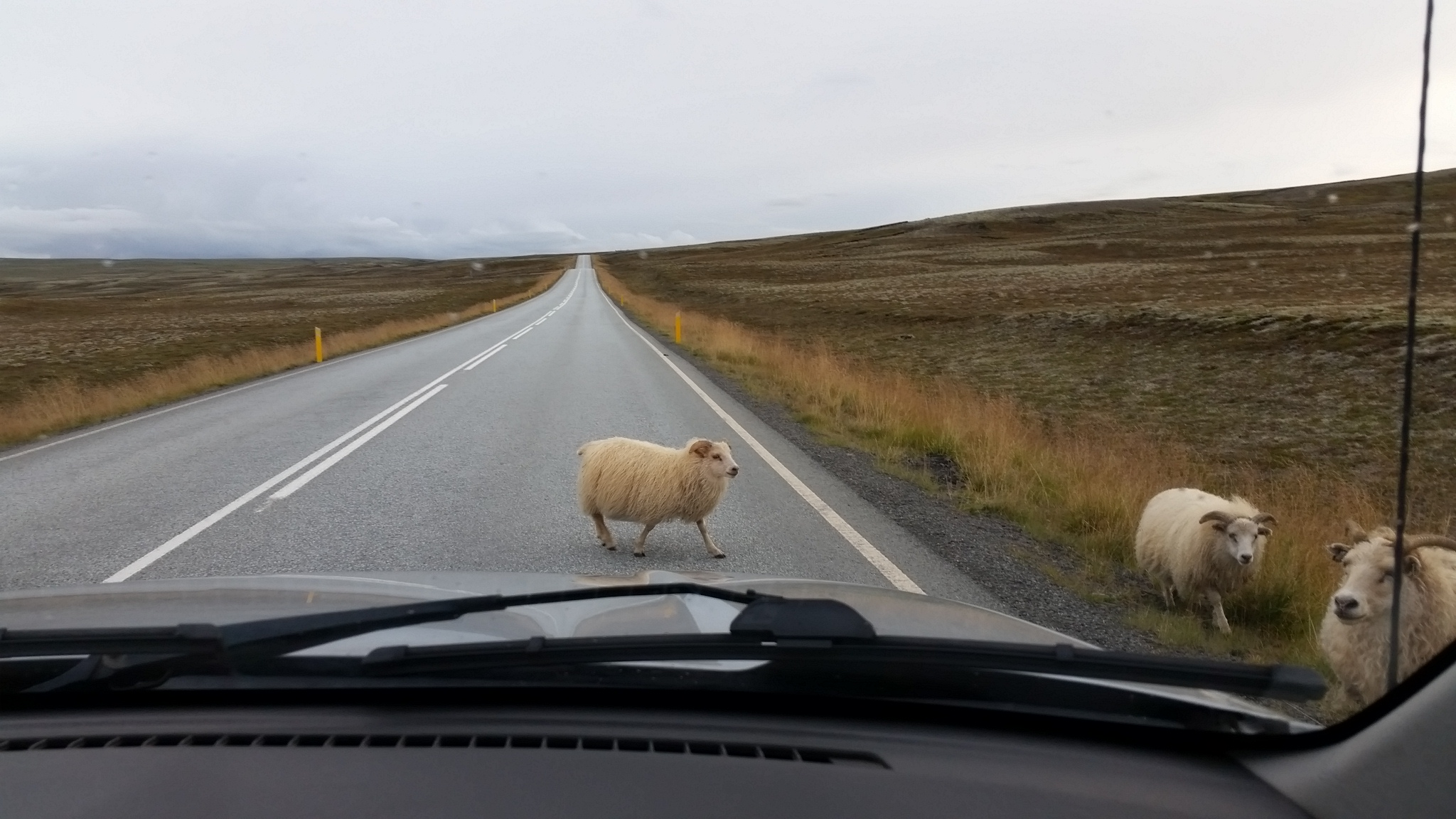 sheep crossing road in iceland